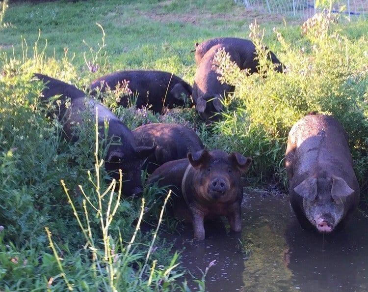 Mastadon pigs