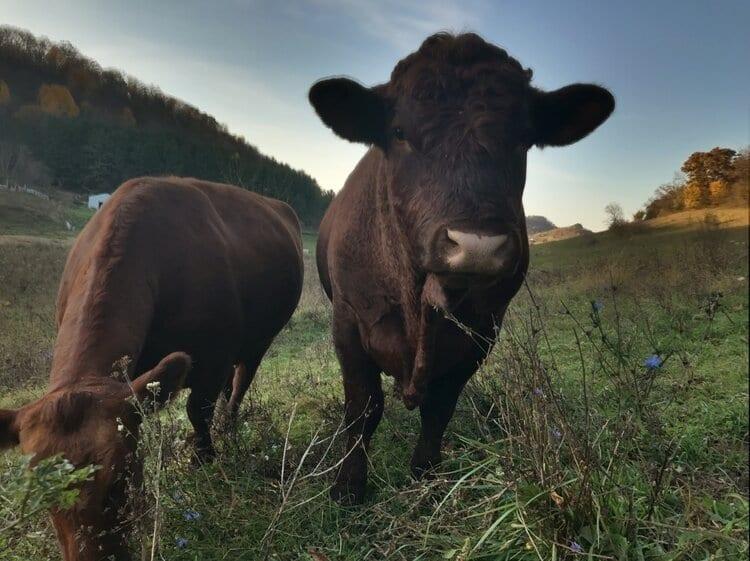 Mastadon Cows