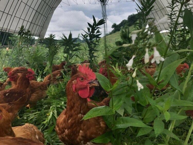 Mastadon Chickens