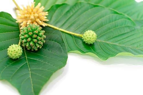kratom plant and floral