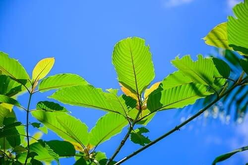 tips about buying kratom and kratom tree