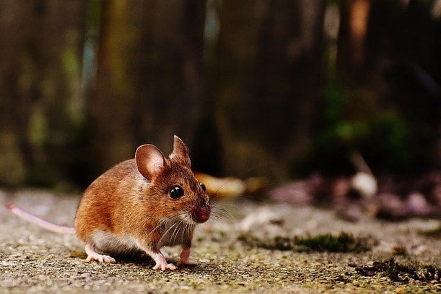 Antibiotics disrupt development of the 'social brain' in mice